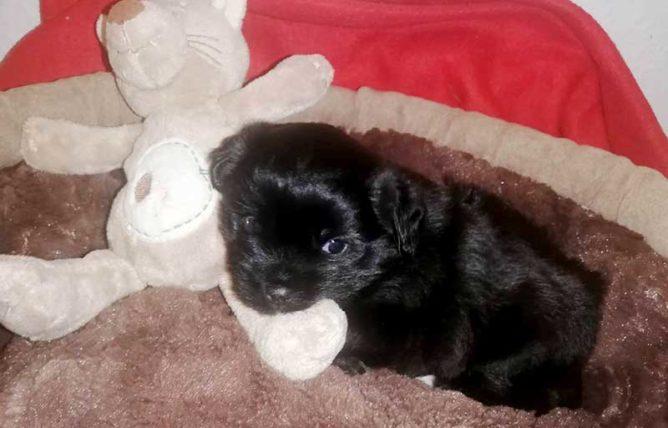 Kleiner Hund mit Stoffhasen auf einer Decke