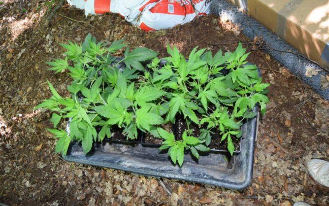 Junge Hanfpflanzen