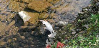 Toter Fisch treibt in der Volme